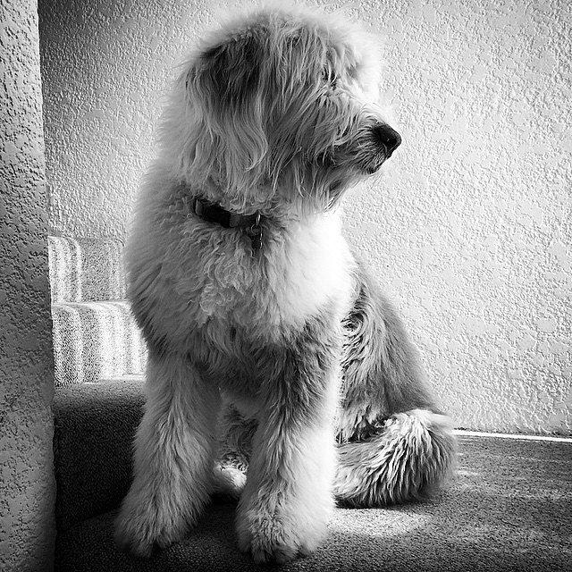 Ya me voy. #Natch #OldEnglishSheepDog #Bobtail #ViejoPastorInglés #Puppy